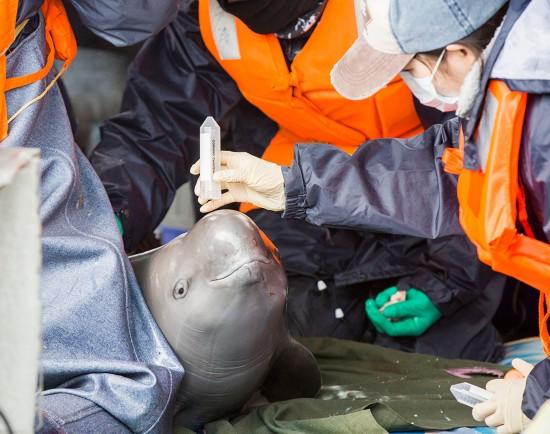 3月16日,中科院水生生物研究所工作人员在鄱阳湖都昌水域对江豚进行体检。