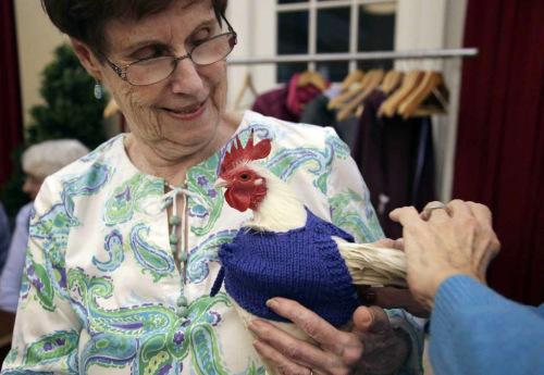 不适应寒冬下蛋少?美国老人给鸡织毛衣助保暖(图)