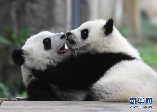 """3月18日,在重庆动物园,""""渝宝""""(左)和""""渝贝""""在玩耍。"""