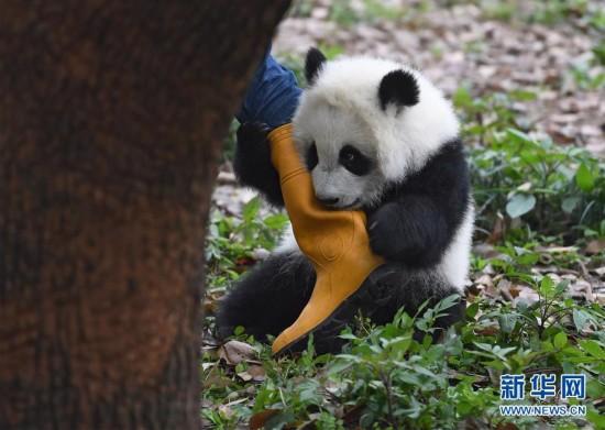 """3月18日,在重庆动物园,""""渝贝""""与饲养员玩耍。"""