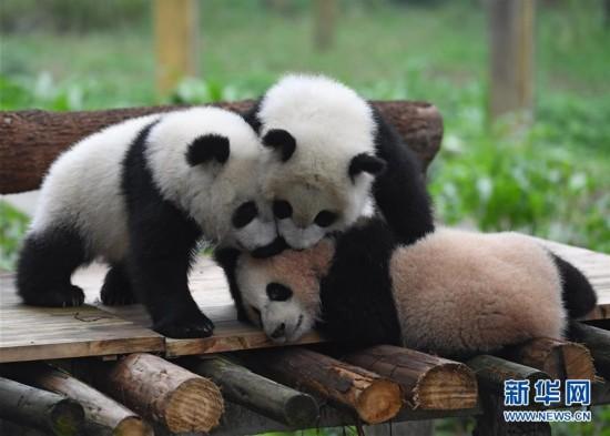 """3月18日,在重庆动物园,""""渝宝""""""""渝贝""""和""""良月""""集体与游客见面。"""