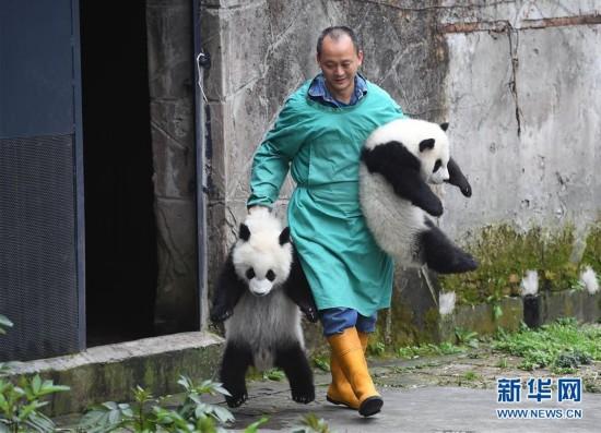 """3月18日,在重庆动物园,饲养员带着""""渝宝""""(右)和""""渝贝""""与游客见面。"""