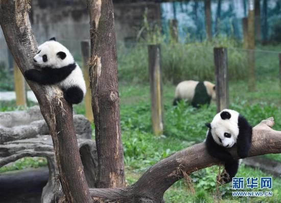 """3月18日,在重庆动物园,""""渝宝""""(左)和""""渝贝""""在树上玩耍。"""