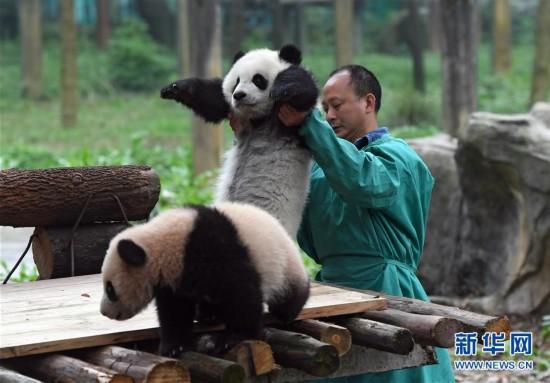 """3月18日,在重庆动物园,饲养员抱着""""渝贝""""与""""良月""""见面。"""