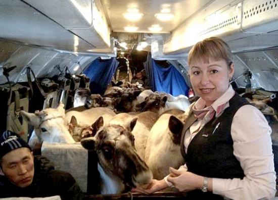 罕见!俄数十只驯鹿齐搭飞机去参赛