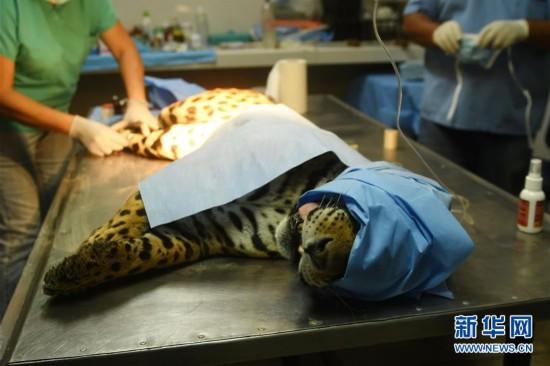 [10](外代二线)给美洲虎做手术