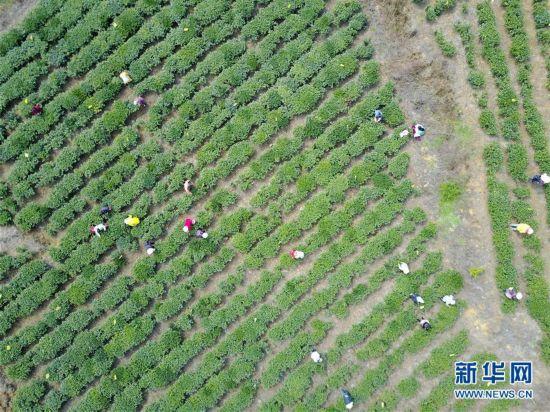 贵州水城:春茶采摘正当时
