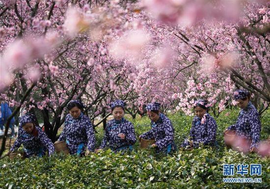 南京:钟山雨花茶春茶开炒