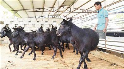 澄迈永发镇:合作养羊 致富有路