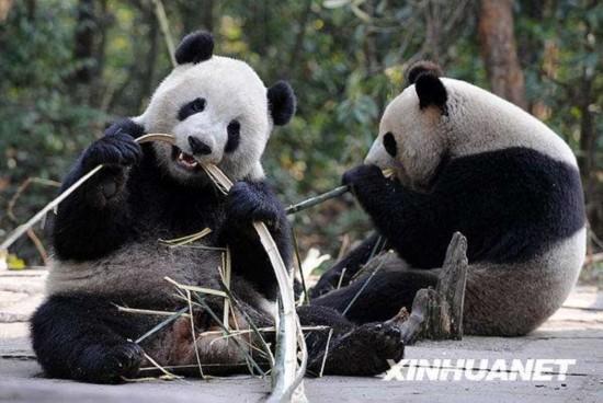 成长萌瞬间:那些在台湾和澳门出生的熊猫宝宝们