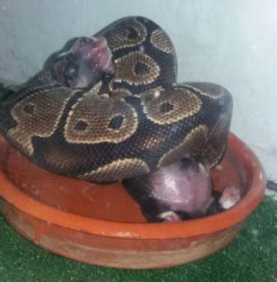 西班牙女子用小猫小狗喂养蟒蛇将面临指控