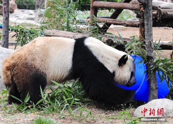 """济南动物园激发大熊猫""""动脑筋""""--陕西频道--人民网"""