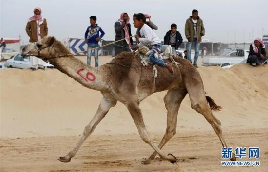 埃及举办国际骆驼赛(组图)