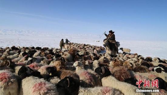 直击新疆兵团哈萨克族牧民春季转场