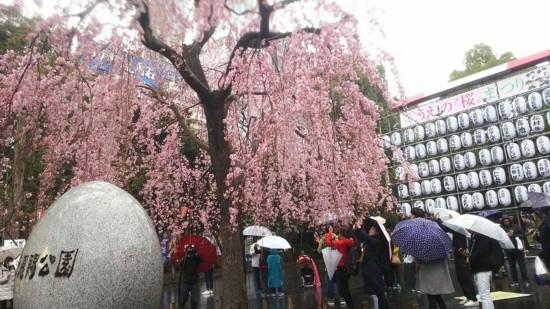 位于上野公园入口处的这棵樱花树吸引了大量游客拍照留念