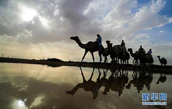 骆驼赛前训练