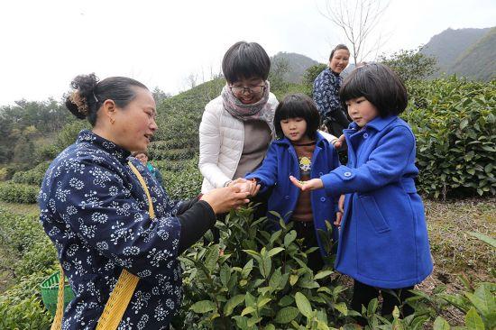 游客们在茶姑的指导下体验采茶。