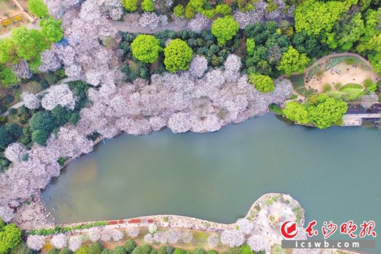 省森林植物园樱花湖畔,繁花似锦,游人如织。
