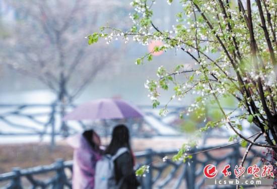 蒙蒙细雨中,游客在长沙县江背镇锦绣江南休闲农庄的樱花园里漫步。