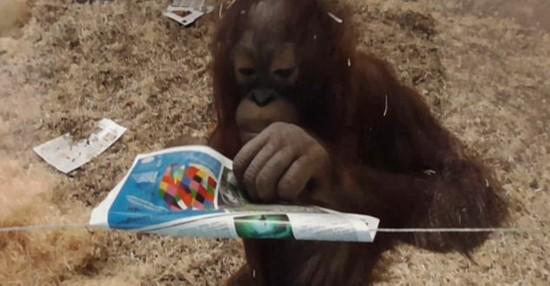厉害了!英国一小猩猩用纸张包住电线防触电