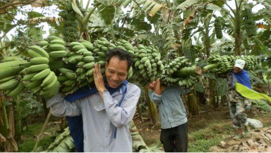 水口镇:西贡蕉销售火爆