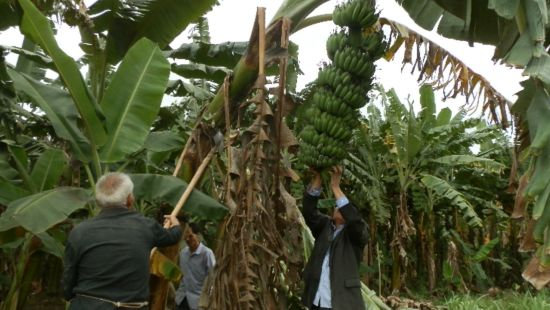 水口镇罗回村:科学种蕉增产增收