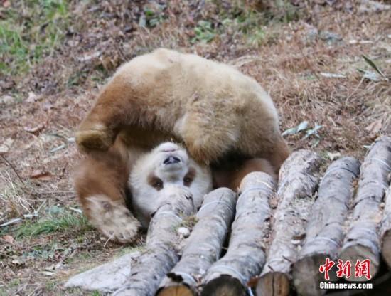 """罕见的棕色大熊猫""""七仔"""""""