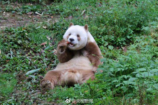 世界唯一活体棕色大熊猫七仔惬意撒欢【3】
