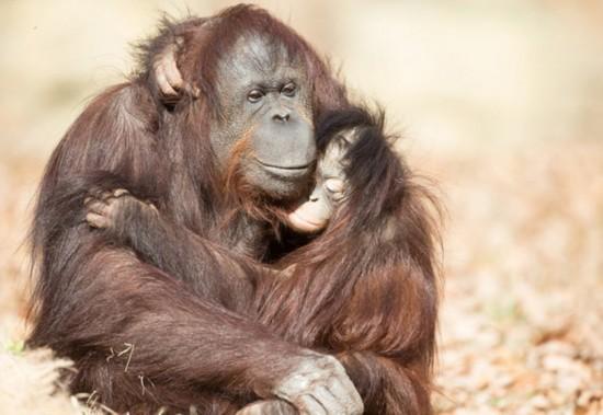 温馨!出生就被遗弃的小红毛猩猩给养母大大拥抱