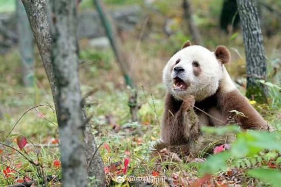 世界唯一活体棕色大熊猫七仔惬意撒欢【2】