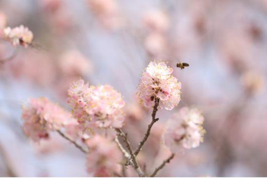 春风十里,多鲁杏花最美