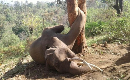 悲剧!印大象上树摘水果失足被卡树干意外身亡