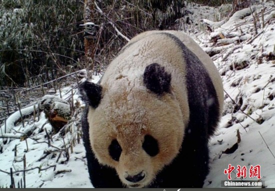 3月31日,四川马边大风顶国家级自然保护区管理局通报,工作人员整理野外收回的131台红外相机数据时,发现永红保护站14台红外相机拍摄到了大熊猫活动影像。其中一段视频还拍到了大熊猫用尿液标记领地行为。图为红外相机拍摄雪地中的野生大熊猫。中新社记者 钟欣 摄