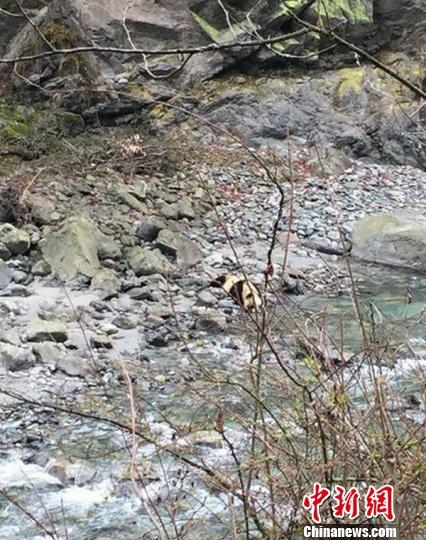 四川芦山发现下山喝水野生大熊猫憨厚可爱不怕生