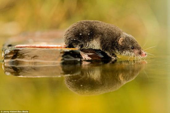 这幅作品是本次比赛英国哺乳动物类别第二名,一只水鼩看着自己的倒影