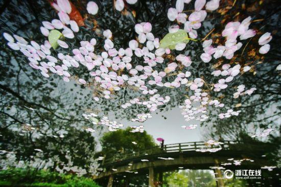 杭州:雨中落樱别样美(组图)
