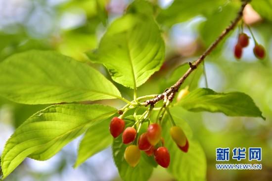 福州森林公园内樱桃树上的樱桃.-福州的樱桃熟了图片