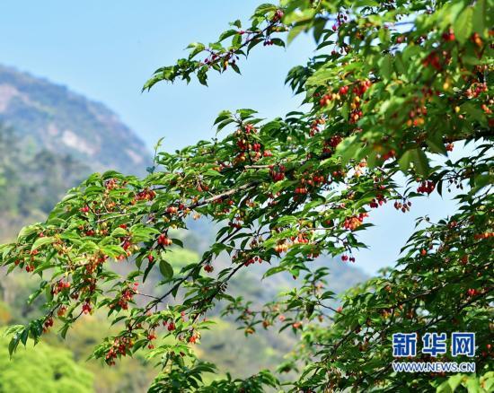 福州森林公园内的樱桃树.-福州的樱桃熟了图片