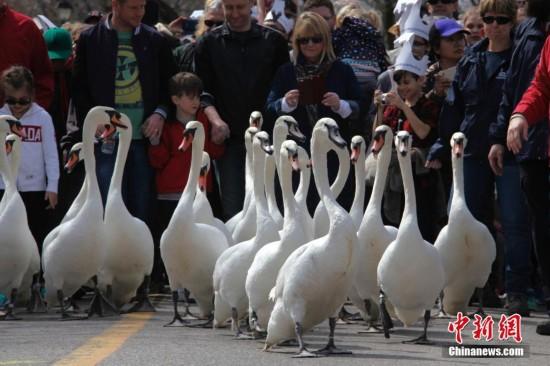 """加拿大小城举行年度""""天鹅大游行""""迎接春天"""