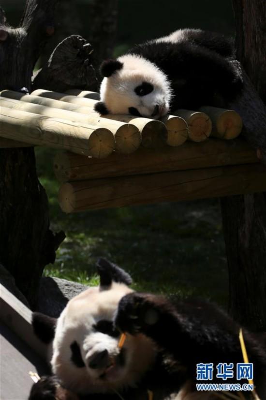 4月5日,在西班牙马德里动物园,大熊猫竹莉娜和妈妈花嘴巴在一起。刚出生7个多月的大熊猫竹莉娜5日在西班牙马德里动物园首次正式与观众见面。竹莉娜是在马德里动物园出生的第5只大熊猫,也是当地出生并成活的首个雌性大熊猫。新华社/路透