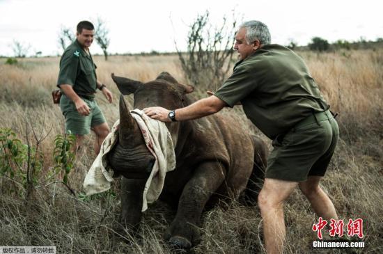 资料图:南非克鲁格国家公园,工作人员将四头犀牛从偷猎高风险地区迁移至较为安全的新家。
