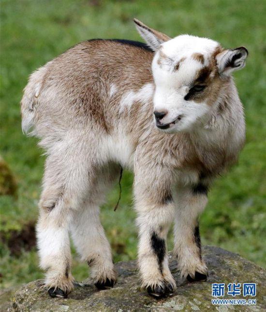 可爱的侏儒山羊宝宝