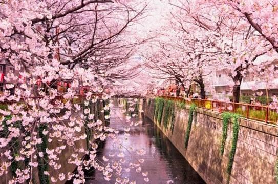 日本樱花季来了 三大赏樱胜地成了赏樱热门之