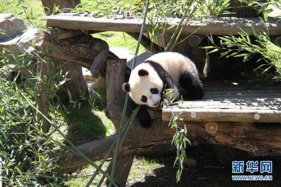 4月5日,在西班牙马德里动物园,大熊猫竹莉娜在熊猫馆外玩耍。刚出生7个多月的大熊猫竹莉娜5日在西班牙马德里动物园首次正式与观众见面。竹莉娜生于2016年8月30日,是在马德里动物园出生的第5只大熊猫,也是当地出生并成活的首个雌性大熊猫。新华社记者冯俊伟摄