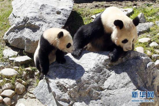 4月5日,在西班牙马德里动物园,大熊猫竹莉娜和妈妈花嘴巴在一起。刚出生7个多月的大熊猫竹莉娜5日在西班牙马德里动物园首次正式与观众见面。竹莉娜是在马德里动物园出生的第5只大熊猫,也是当地出生并成活的首个雌性大熊猫。新华社/西霸