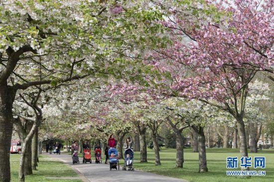 伦敦巴特西公园春花盛开