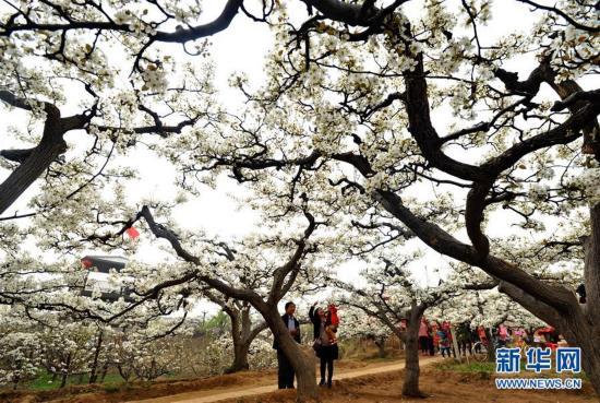 梨花争艳满园春