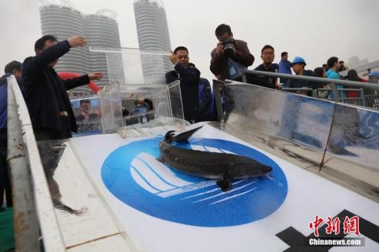 500尾中华鲟放流长江 平均体重创纪录