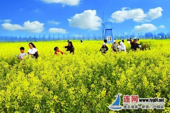 连云港云水湾景区300亩油菜花进入盛开期