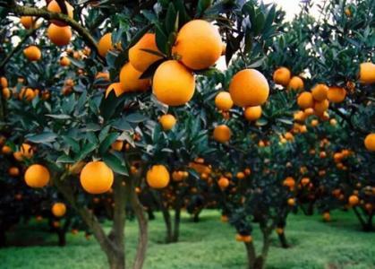 崇明种出了能连皮吃的柑桔为当地首批博士农场之一